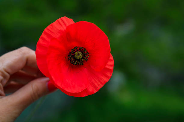 Red wild poppy flower in a woman's hand with a green blurred background picked in the mountains in Montenegro stock photo