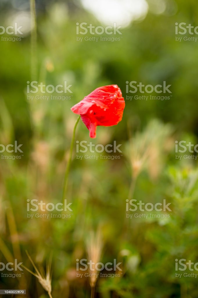 Red Wild Poppy, stock photo