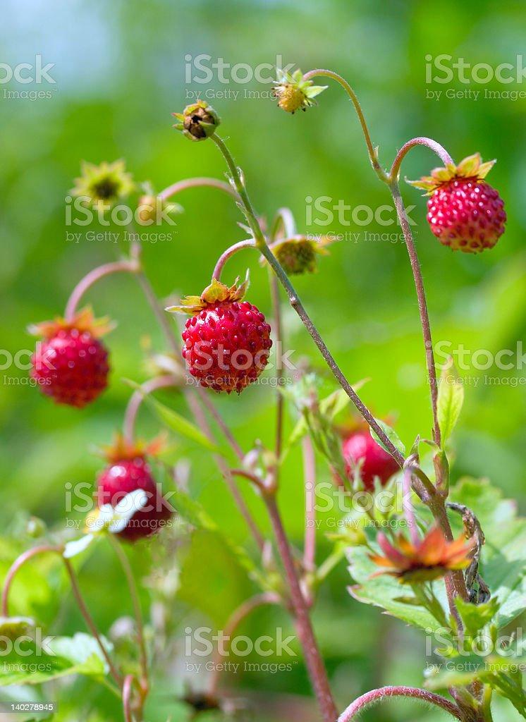 red wild strawberries royalty-free stock photo