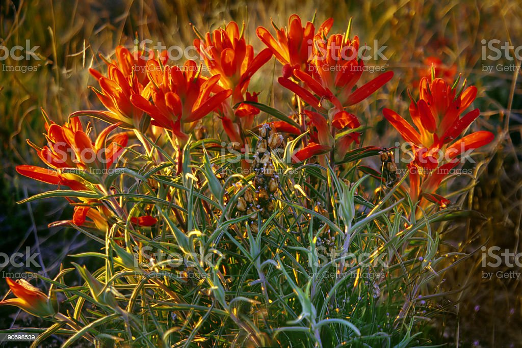 red wildflower blooms royalty-free stock photo