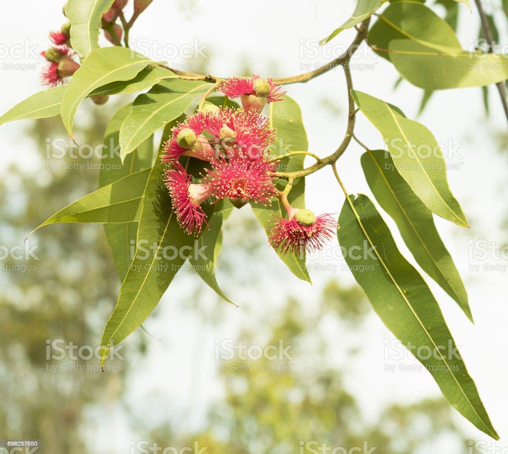 Red wildflowers of Australian eucalyptus gumtree