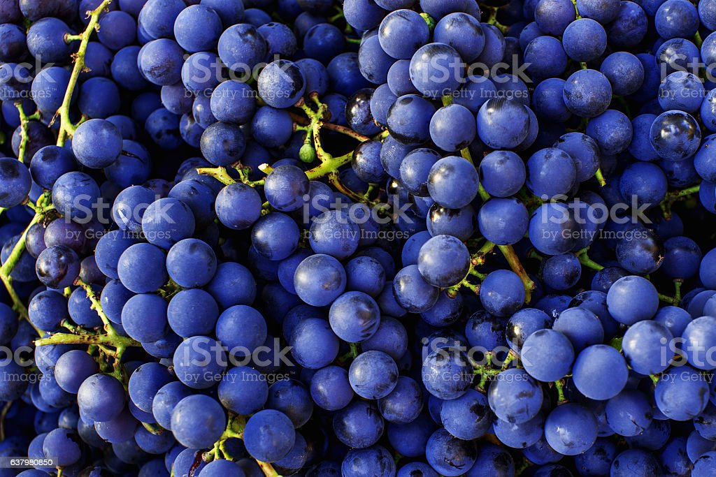 Red wine grapes background. Dark blue wine grapes. stock photo