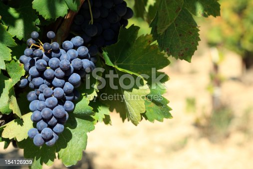 Red wine grapes growing in a vineyard in the Cotes Du Rhone region of southern France.  Space for copy on right.  Alternative version shown below: