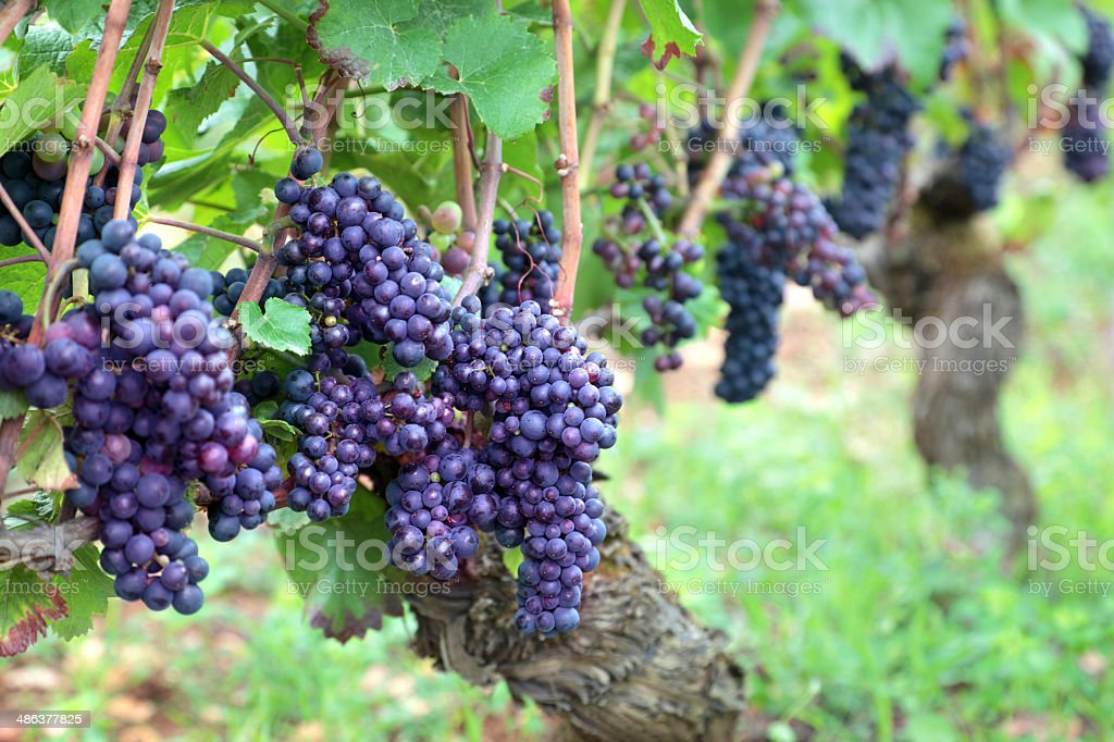 Red wine grapes growing in a vineyard stock photo