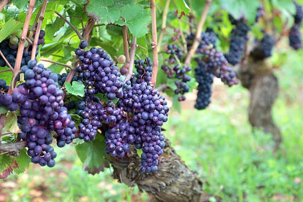 Vin rouge dans un vignoble de raisin en pleine croissance - Photo
