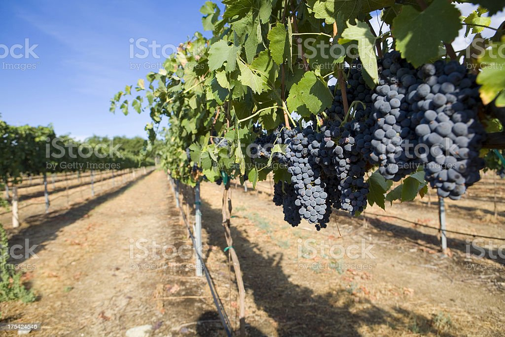 Red Wine Grapes in a Vineyard royalty-free stock photo