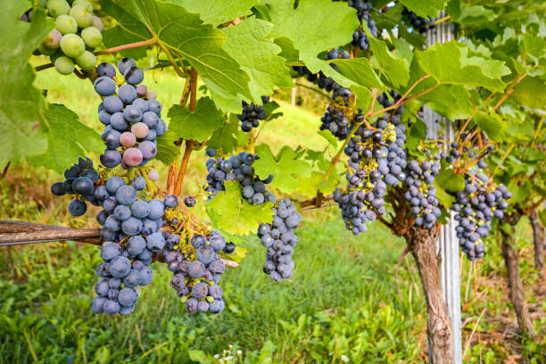 Red wine grapes in a wineyard before harvest in late autumn Red wine grapes in a wineyard before harvest in late autumn merlot grape stock pictures, royalty-free photos & images