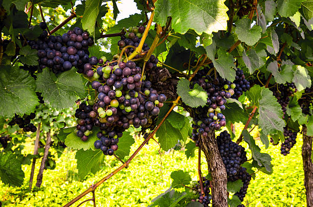 Red wine: Grapes in the vineyard before harvest Red wine: Grapes in the vineyard before harvest merlot grape stock pictures, royalty-free photos & images