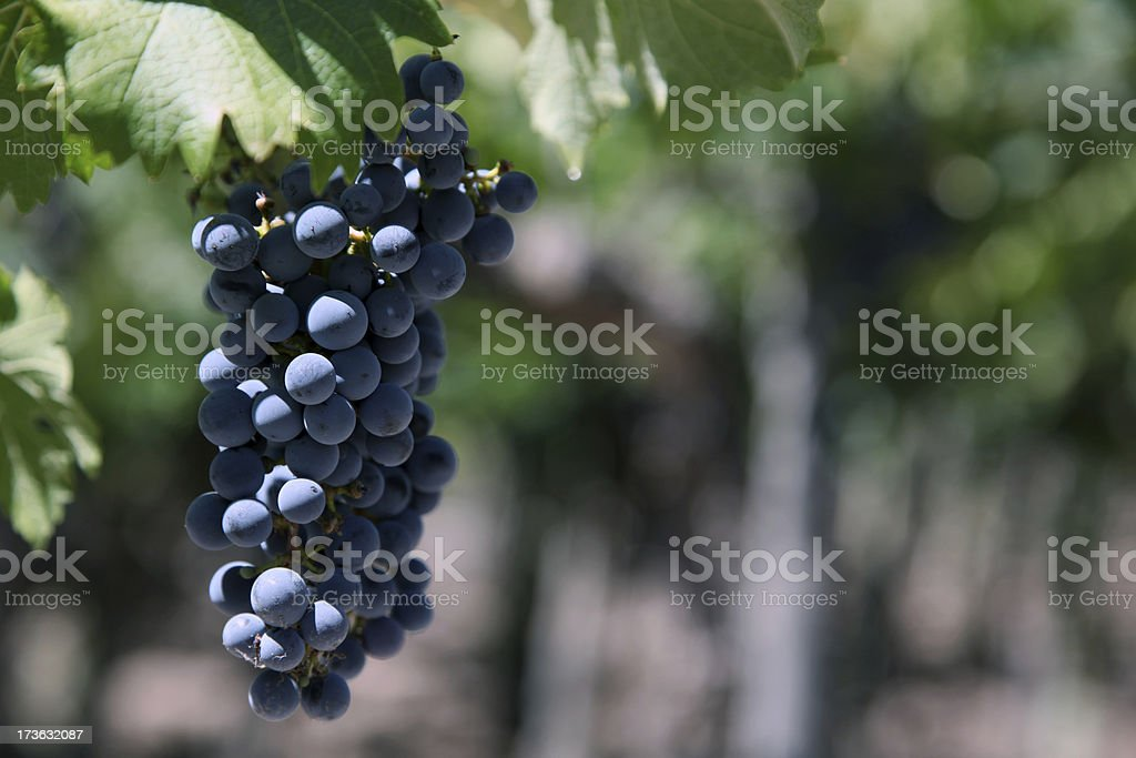 Red Wine Grapes on the Vine in Vineyard royalty-free stock photo