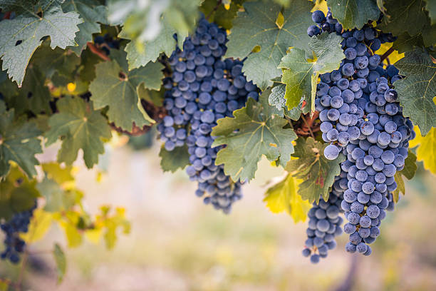 Red wine grapes on the vine Large bunches of ripe red wine grapes hang from a summer vine, with warm afternoon light and blurred background. cabernet sauvignon grape stock pictures, royalty-free photos & images