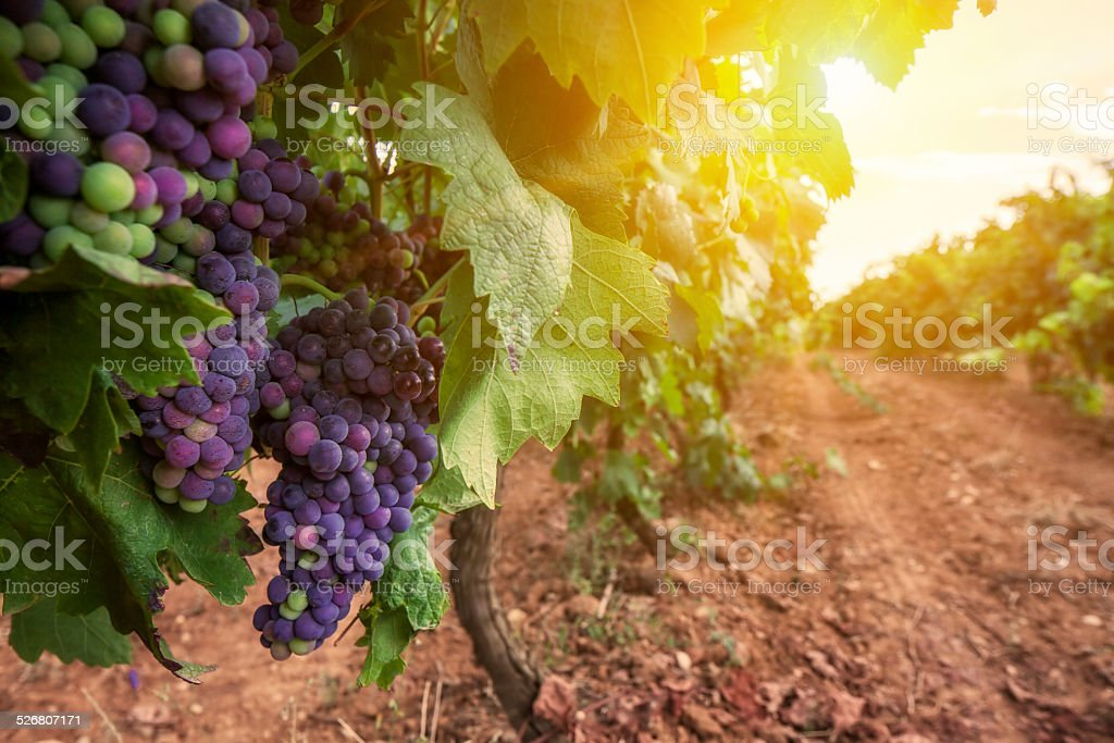 Red wine grapes on vine stock photo