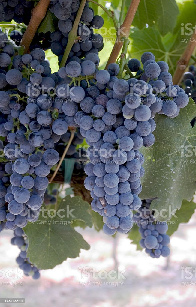 Red Wine Grapes royalty-free stock photo