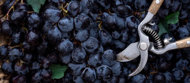 Freshly harvested grapes with morning dew.Similar pictures from my portfolio: