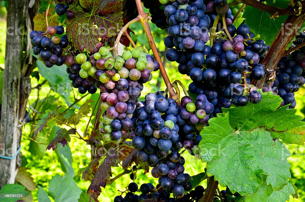 Red wine: Vine with grapes before vintage - harvest stock photo