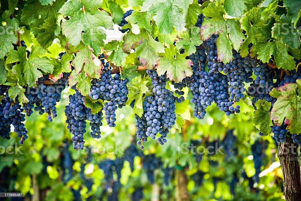Red wine vineyard royalty-free stock photo