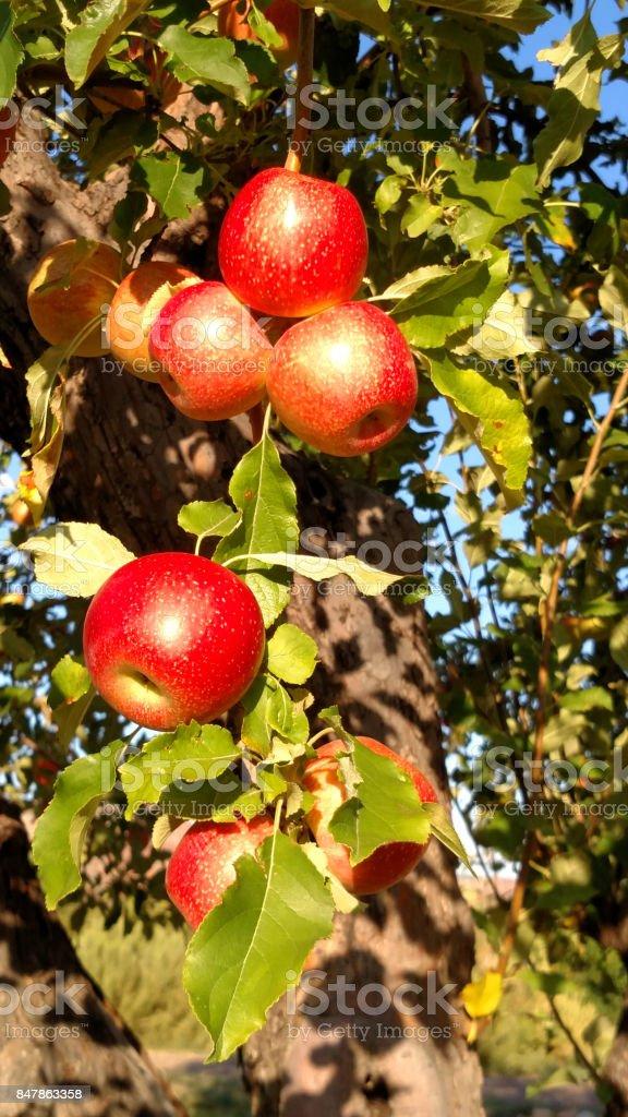 Red winesap heirloom apples on tree in Rockville Utah stock photo