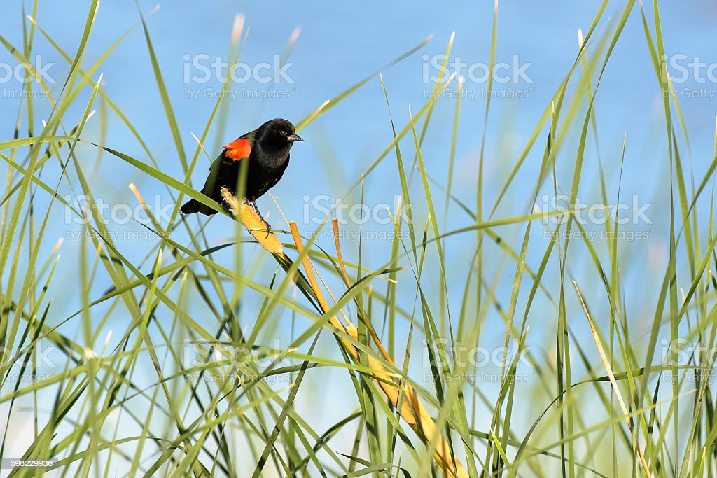 Red wing black bird perched foto royalty-free