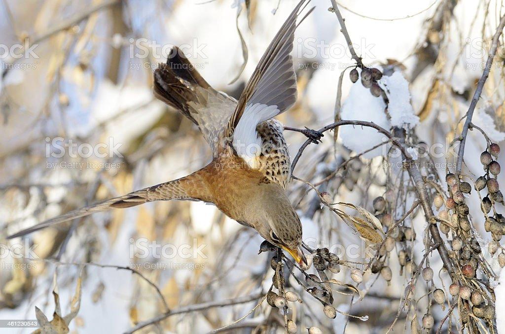 red wing thrush (turdus iliacus) stock photo