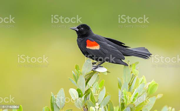 Photo of Red Winged Black Bird - Isolated Perched - Green Background