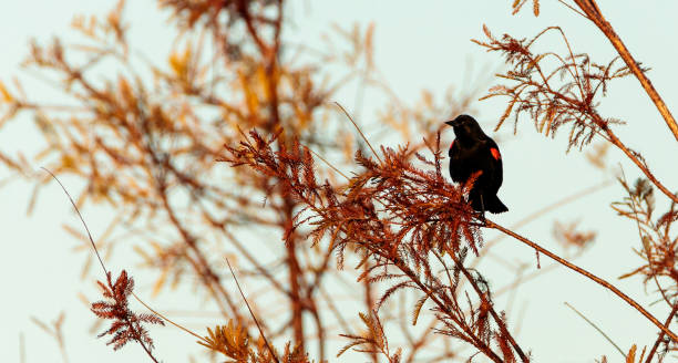 Red winged blackbird Agelaius phoeniceus stock photo