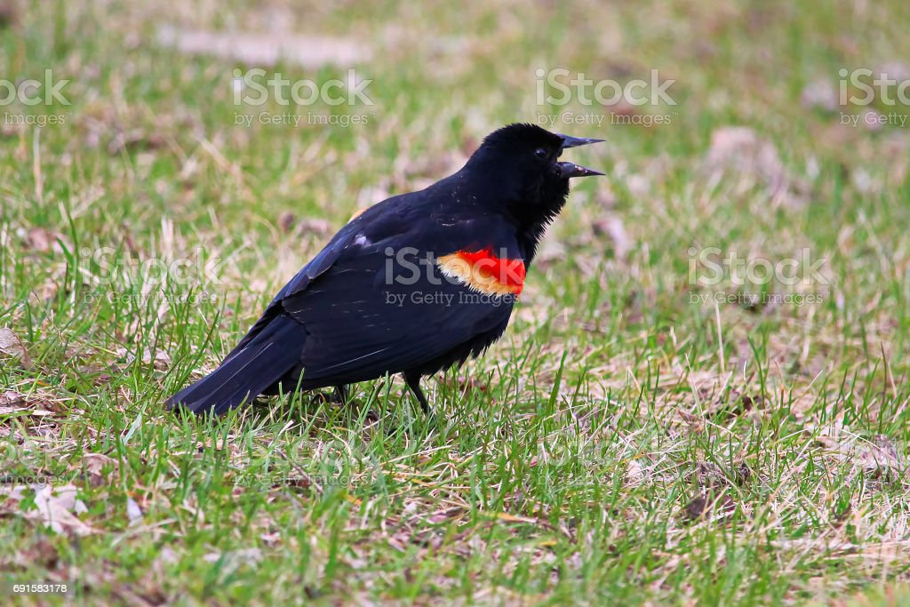 A red winged blackbird calling on the grass stock photo