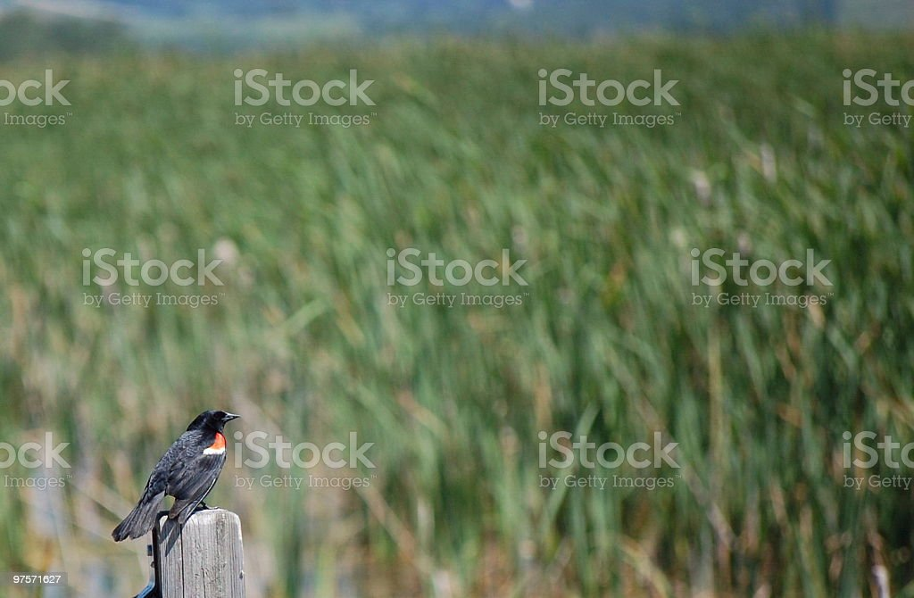 Red Winged Blackbird in the Marsh royalty-free stock photo