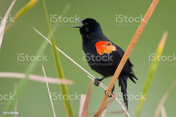 Photo of Red Winged Blackbird male calling singing