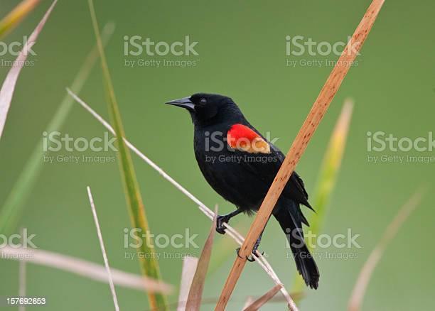 Photo of Red Winged Blackbird