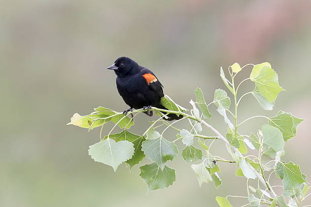 Red Winged Blackbird (Agelaius phoeniceus) A red winged blackbird (Agelaius phoeniceus) perches on the branch of a cottonwood tree. cottonwood tree stock pictures, royalty-free photos & images