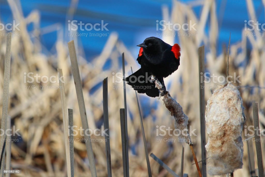 Red winged blackbird sitting on a dried cattail with a blue background stock photo