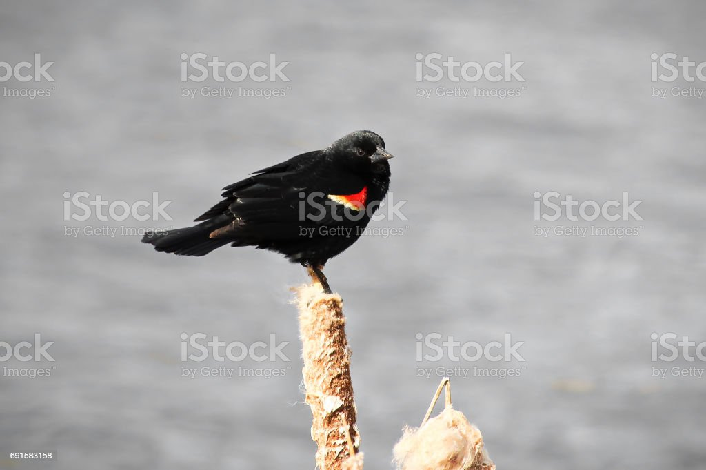 Red winged blackbird sitting on a dried cattail with a grey background stock photo