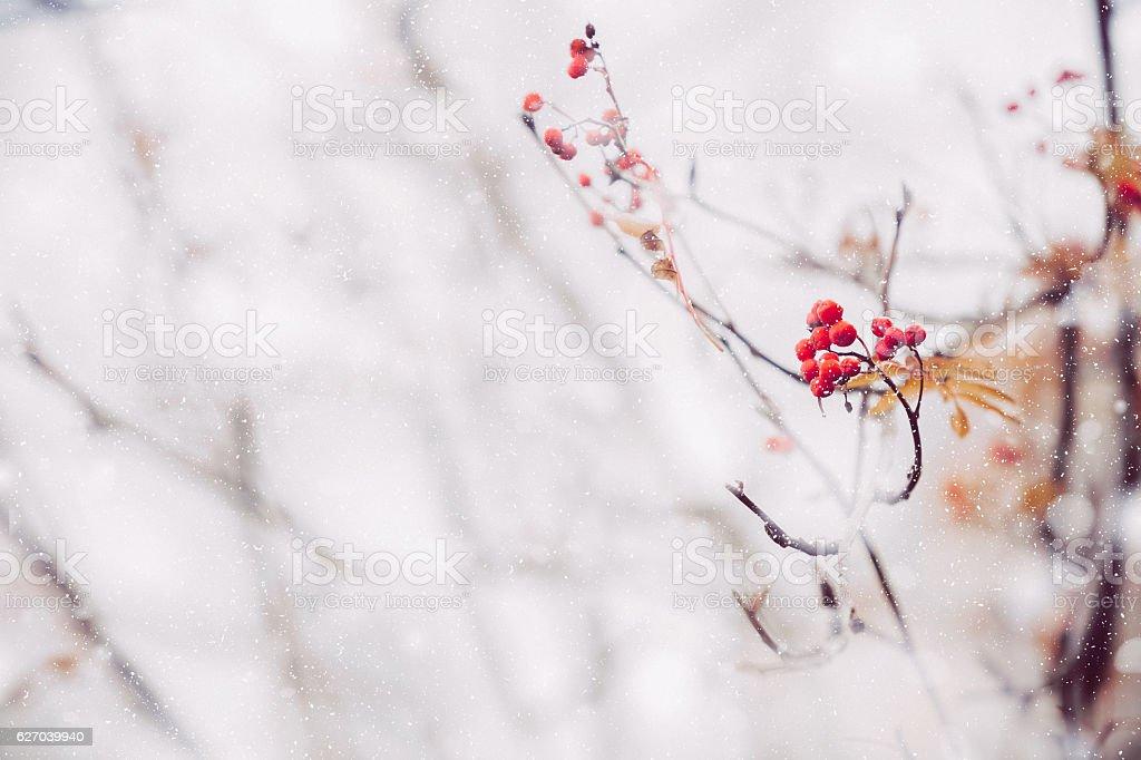 Red Winter Berries stock photo