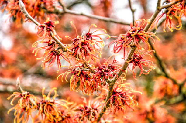 Red witch hazel close-up close-up of several red flowers of a witch hazel (hamamelis) on a sunny day in winter saxifragales stock pictures, royalty-free photos & images