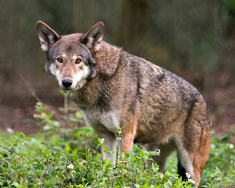 Red wolf close-up image looking at the camera with foliage foreground  and bokeh background, displaying brown fur, and enjoying its environment and surrounding.