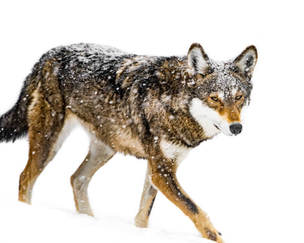 Red Wolf in Snow VII stock photo