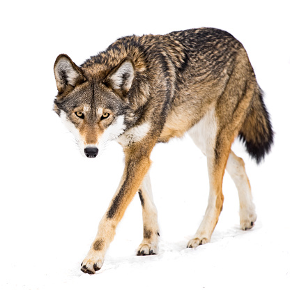A Female Red Wolf Walking in Snow
