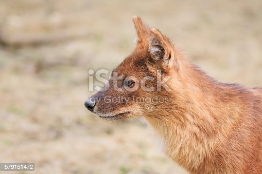 Dhole (Cuon alpinus lepturu) is a canid native to Central, South and Southeast Asia. Other English names for the species include Asiatic wild dog, Indian wild dog, whistling dog, red wolf.