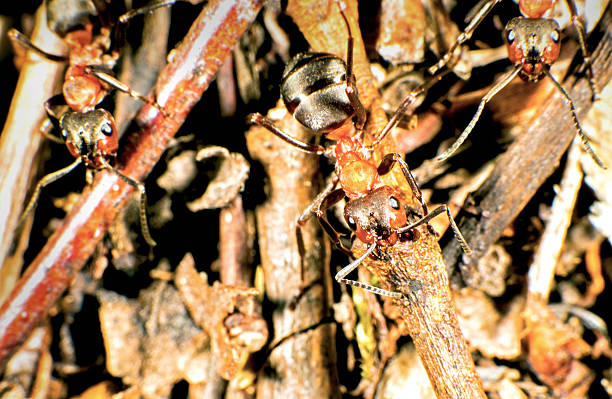 Red wood ant Red wood ant on the hill formic acid stock pictures, royalty-free photos & images