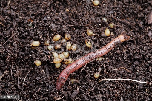 Red worm eggs in compost