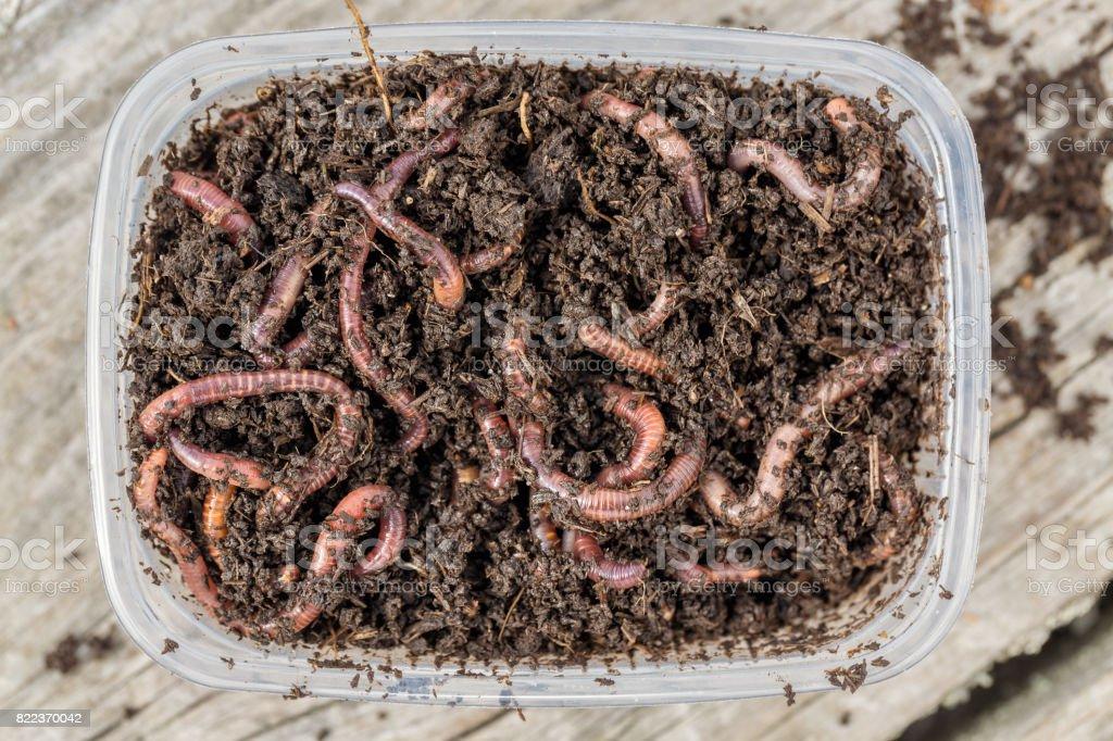 Vers rouges Dendrobena dans une boîte dans le fumier, appâts vivants de ver de terre pour la pêche - Photo