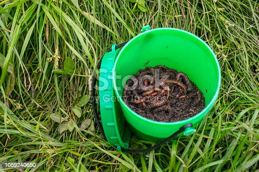 Red worms Dendrobena in manure, ground in a green round jar in grass. Earthworm live bait for fishing