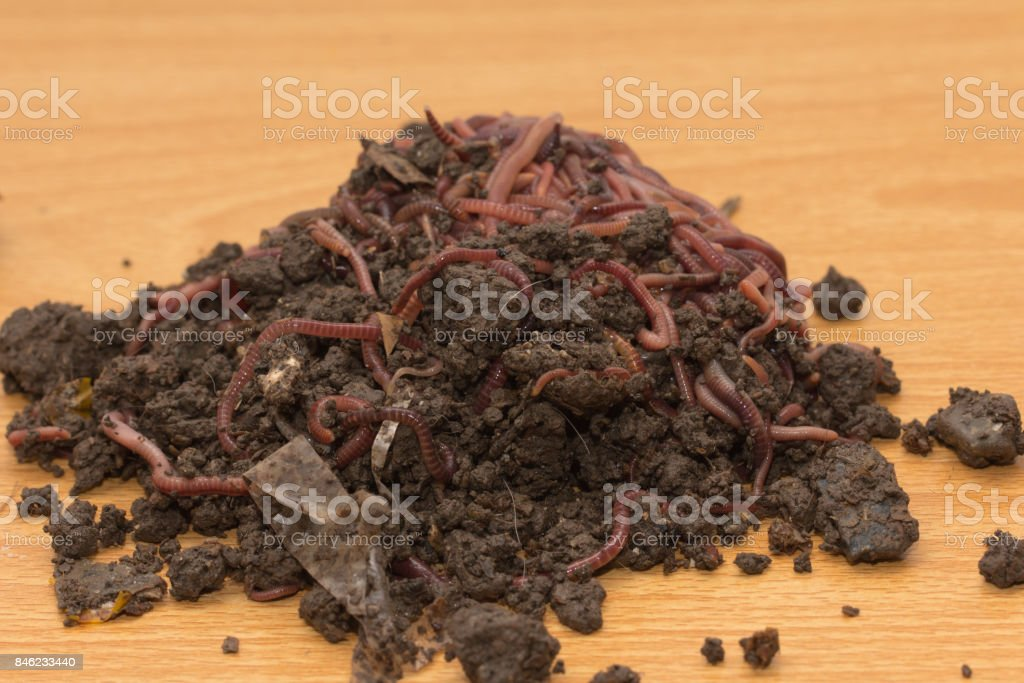 red worms in compost - bait for fishing stock photo
