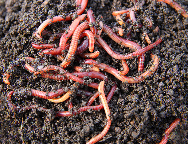 red worms in compost  worm stock pictures, royalty-free photos & images