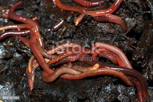 red worms in humus leaves, macro