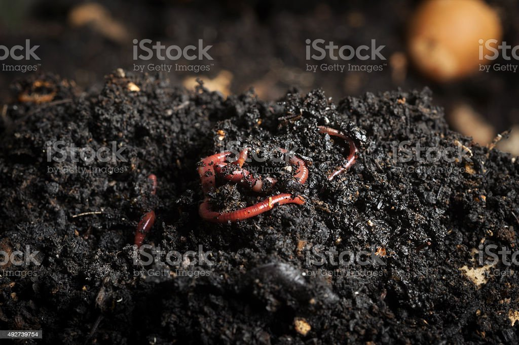 Red worms stock photo