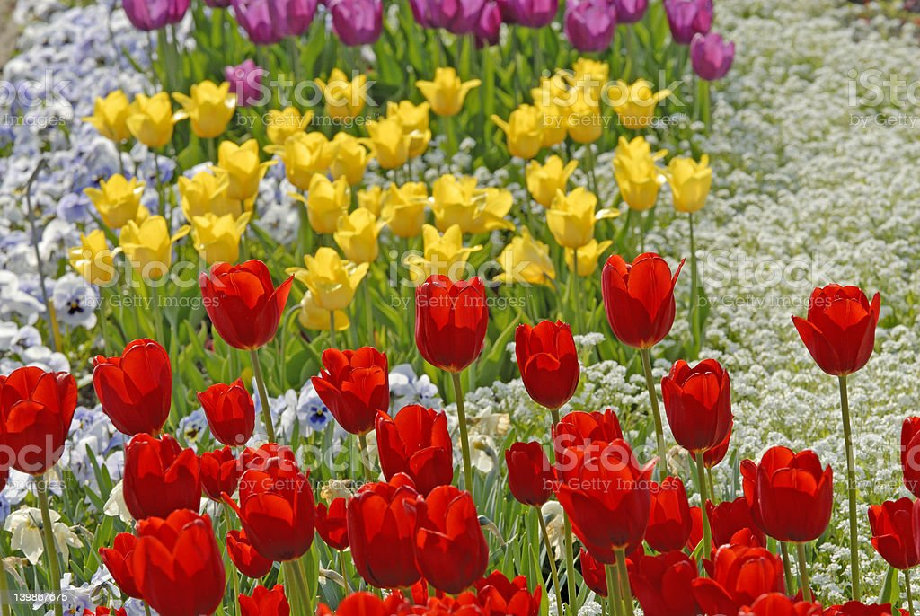 Red, yellow and lilac Tulips royalty-free stock photo