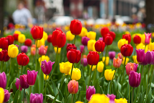 Red, yellow, and pink tulips in bloom in the city