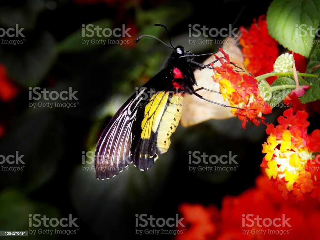 Red yellow Black butterfly stock photo