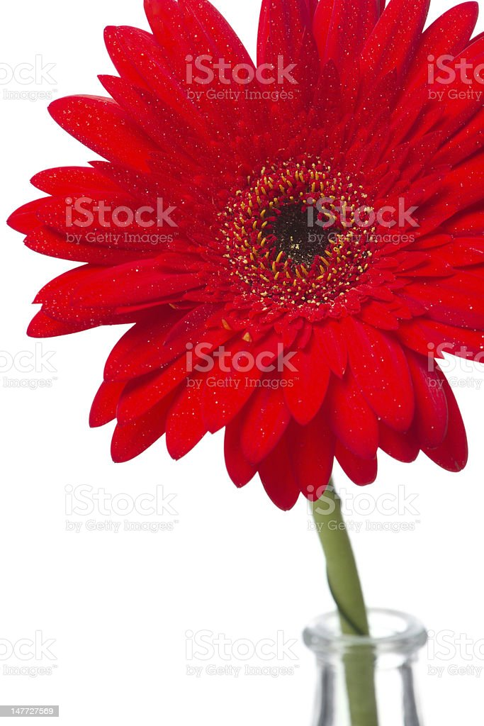 Red yellow gerbera in a glass vase stock photo