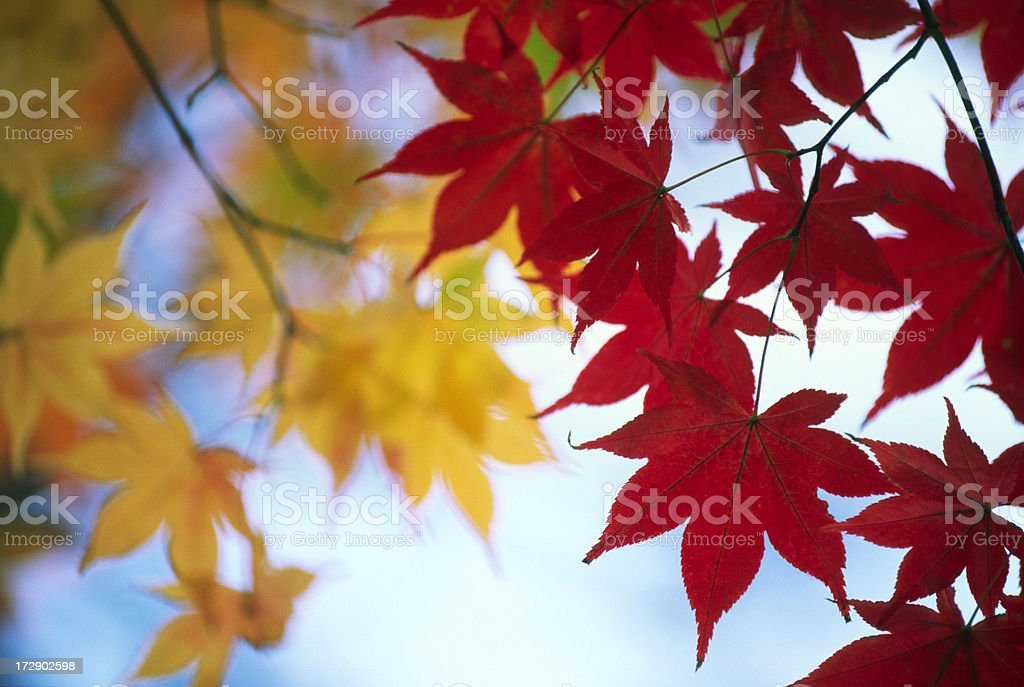 Red & Yellow Leaves royalty-free stock photo